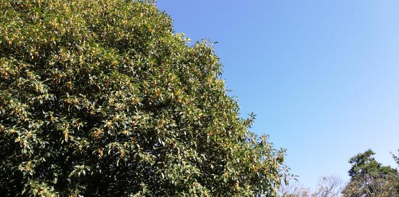 大きな金木犀の木から、今年も良い香りが届きました。